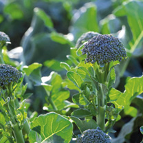 Broccoli Plants - Jacaranda