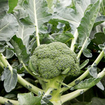 Broccoli Seeds - F1 Monclano