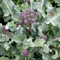 Broccoli Purple Sprouting Seeds - F1 Blaze