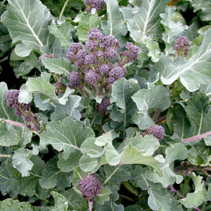 Broccoli Purple Sprouting Seeds - F1 Blaze