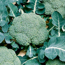 Broccoli Calabrese (Organic) Seeds - Belstar F1