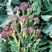 Broccoli Seeds - Purple Sprouting