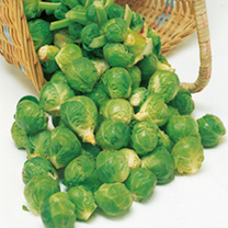 brussel sprouts plants