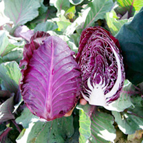 Click to view product details and reviews for Cabbage Plant Tinty.