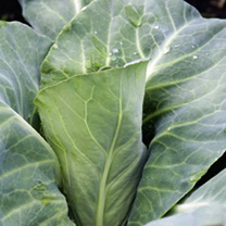 Cabbage Plants - Pointed Continuity Duo Pack
