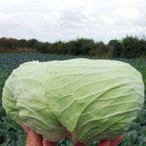 Cabbage Seeds - F1 Sarmarsh