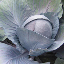 Cabbage Plant - Rodeo