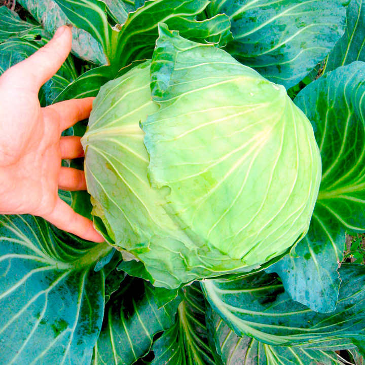Cabbage Plants - Round Continuity Collection