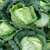 Cabbage Plants - Savoy Continuity Collection