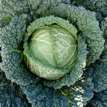 Cabbage (Savoy) Seeds - F1 Serpentine