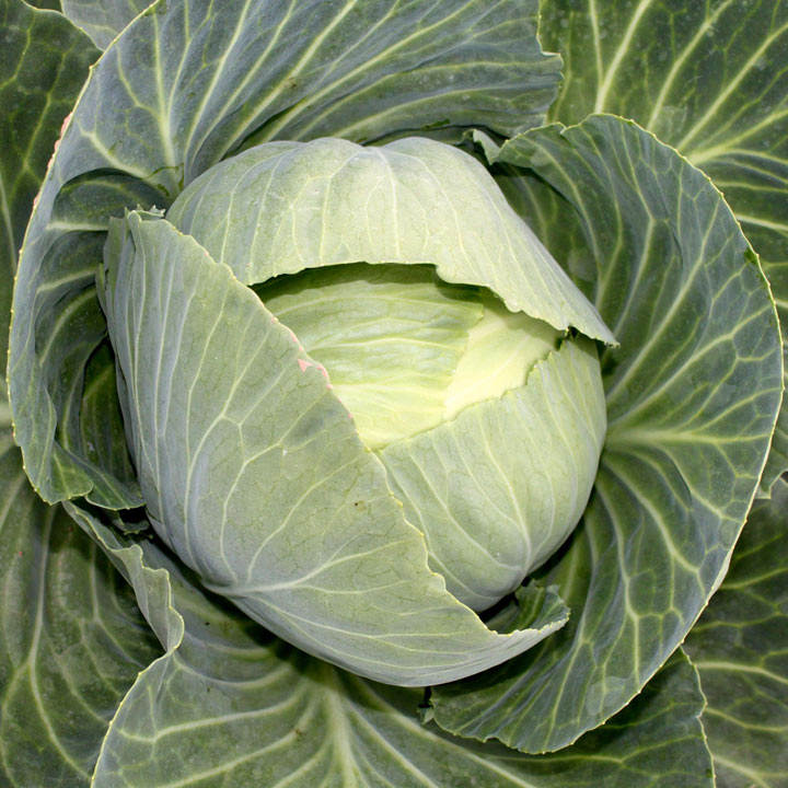 Cabbage (Organic) Seeds - Drago F1