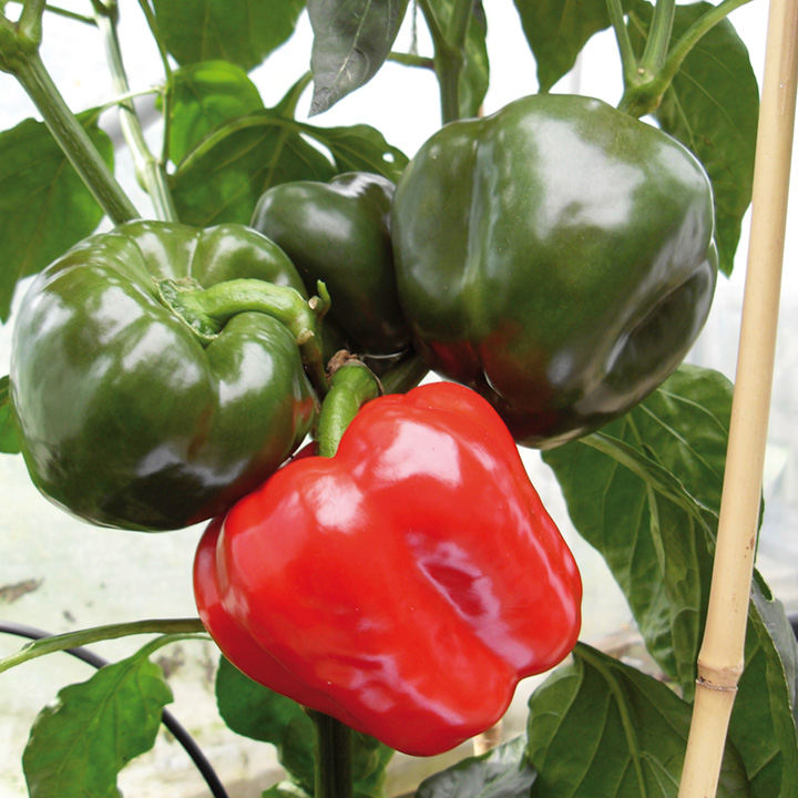 Pepper Sweet Grafted Plant - F1 Britney