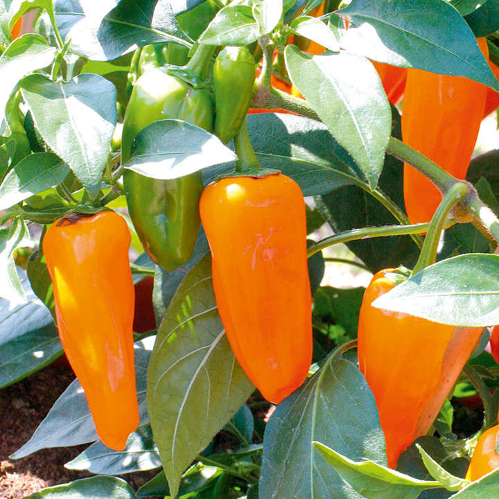 Pepper Chilli Seeds - F1 Cheyenne