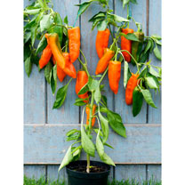 Pepper Long Sweet Grafted Plants - Orange Kiss