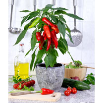 Pepper Sweet Plant - F1 Mimi