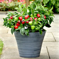 Pepper Patio Veg Plants - Snackabelle