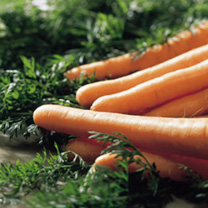 Carrot Seeds - F1 Maestro
