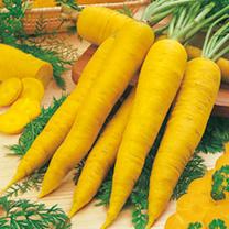 Carrot Seeds - Yellowstone
