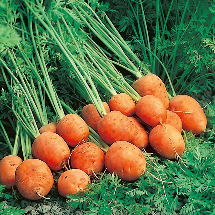 Carrot Seeds - Rondo