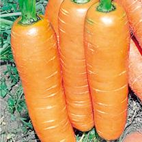 Carrot (Organic) Seeds - F1 Flyaway