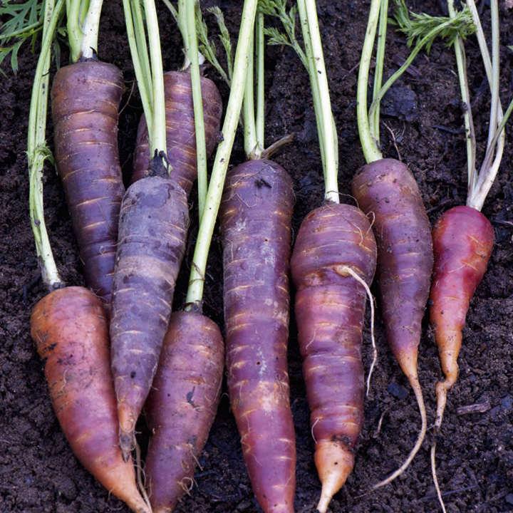 Carrot Seeds - F1 Purple Haze