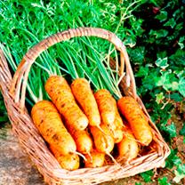 Seed Tin - Carrot Autumn King 2