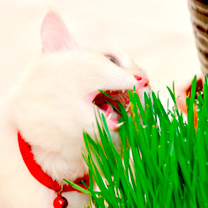 Click to view product details and reviews for Cat Grass Seeds.