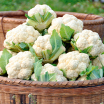 Cauliflower Plants - Late Summer Continuity Collection