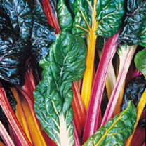 Keep Cropping Swiss Chard Plants - Bright Lights
