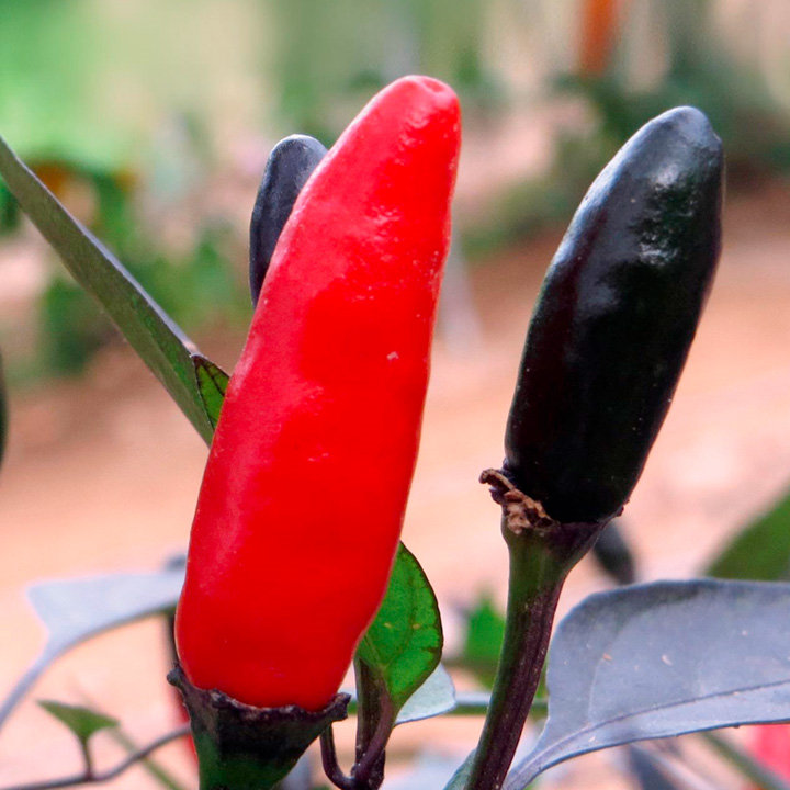 Growing Peppers In Your Vegetable Garden: Pepper Chilli Seeds