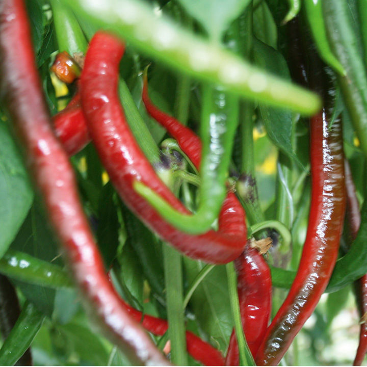 Pepper Chilli Seeds - Joe's Super Long