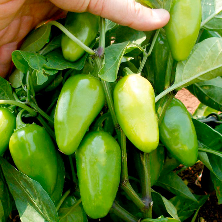 Pepper Chilli Seeds - Raam