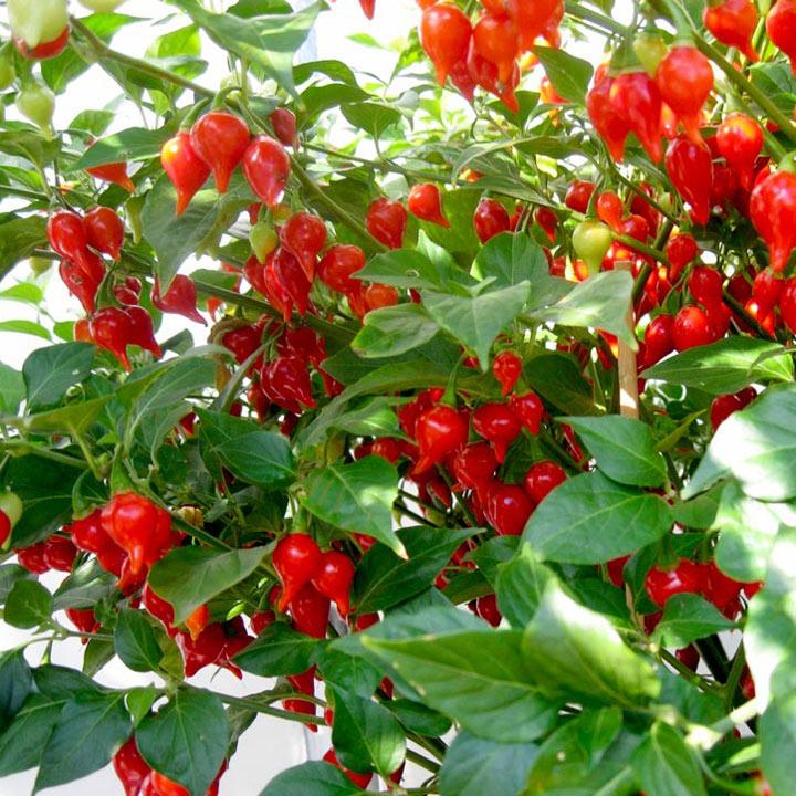 Chilli Pepper Plant - Pearls