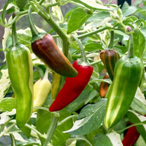 Chilli Pepper Seeds - Hot Rod