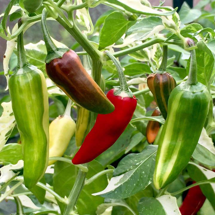 Chilli Pepper Seeds - Hot Rod