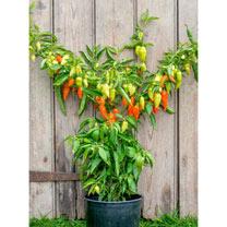 Pepper (Sweet/Chilli) Plants - Habanada