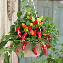 Chilli Ponky Pepper™ (Chilli) Plant - Spicy Jane