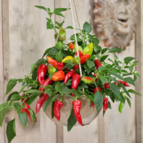 Ponky Pepper (Chilli) Plant - Spicy Jane