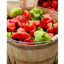Chilli Pepper Plant - Mad Hatter