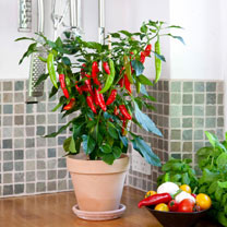 Chilli Pepper Patio Plant - Hot Fajita