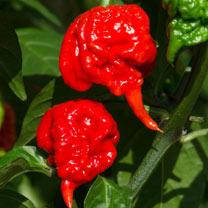 Chilli Pepper Plant - Carolina Reaper