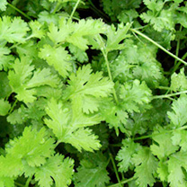 Click to view product details and reviews for Herb Seed Coriander.