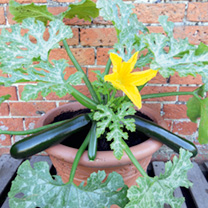 Courgette Plant - F1 Patio Star
