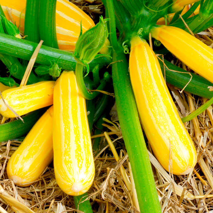 Courgette Seeds - F1 Goldmine