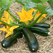 Courgette Seeds - F1 Midnight