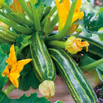 Courgette (Organic) Seeds - Italian Striped