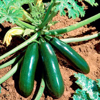 Courgette Plants - Astia