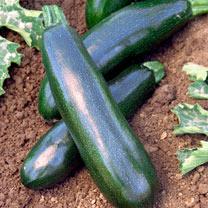 Courgette Plants - Astia