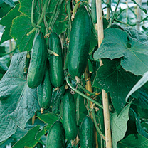 Cucumber Plants - F1 Passandra