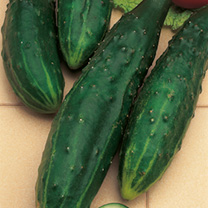 Cucumber Seeds - F1 Burpless Tasty Green
